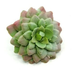 Kövirózsa gumi hamvas zöld 7 cm